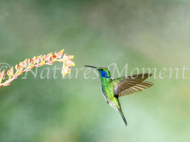 Green Violetear Hummingbird - Pink Flower