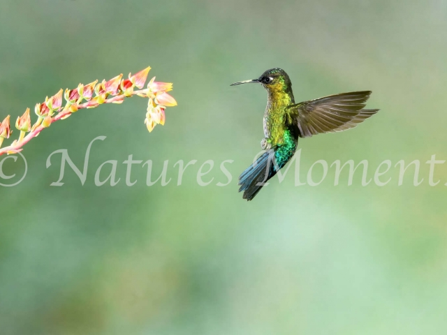 Fiery-throated Hummingbird - Pink Flower