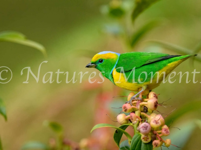 Golden-browed Chlorophonia - Sitting on Dinne