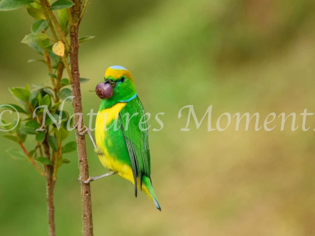 Golden-browed Chlorophonia - Mouth Full