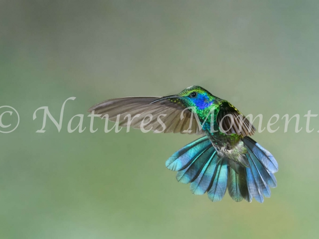 Green Violetear Hummingbird - Wings Forward