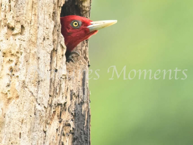 Pale-billed Woodpecker - Guarding the Nest