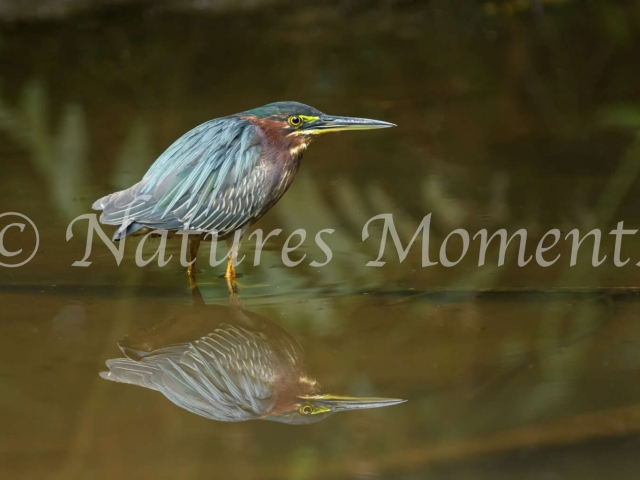 Green Heron - True Reflection