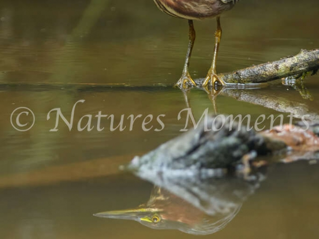 Green Heron - Fishing Opportunity
