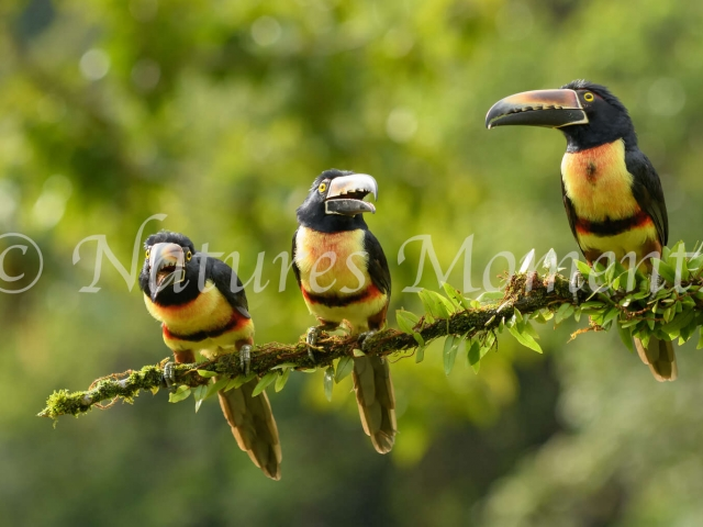 Collared Aracari - Come Closer