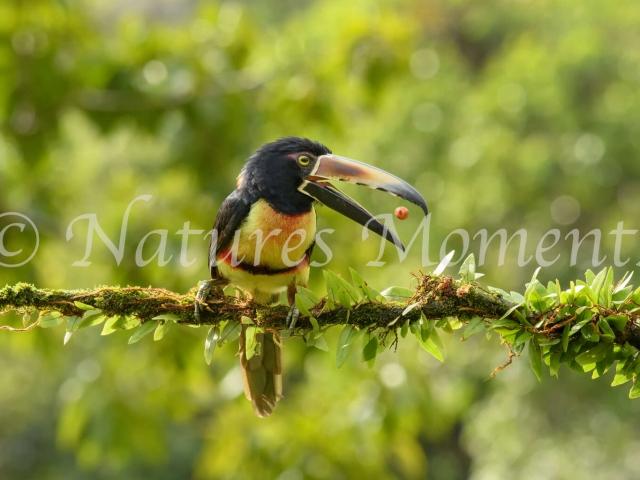 Collared Aracari - Berry Catch