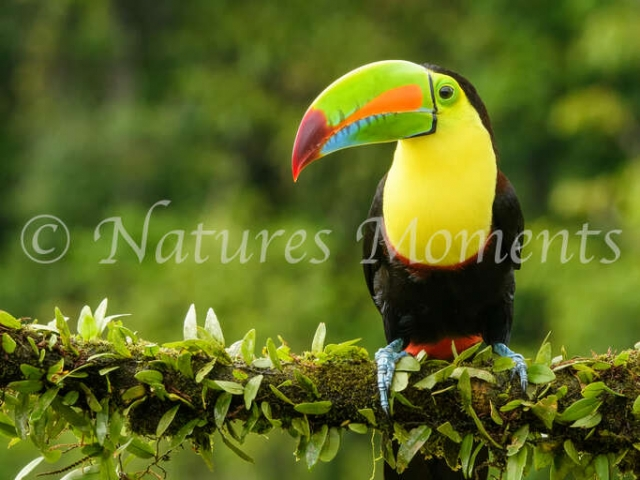 Keel-billed Toucan - Portrait
