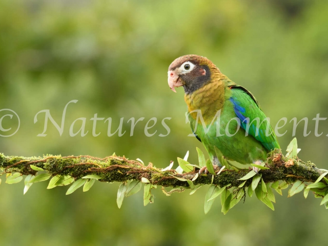 Brown-hooded Parrot - On a Perch
