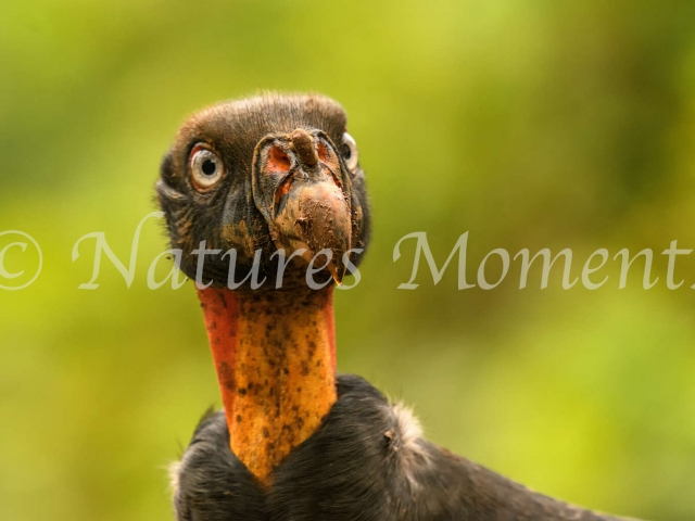 King Vulture - Duh