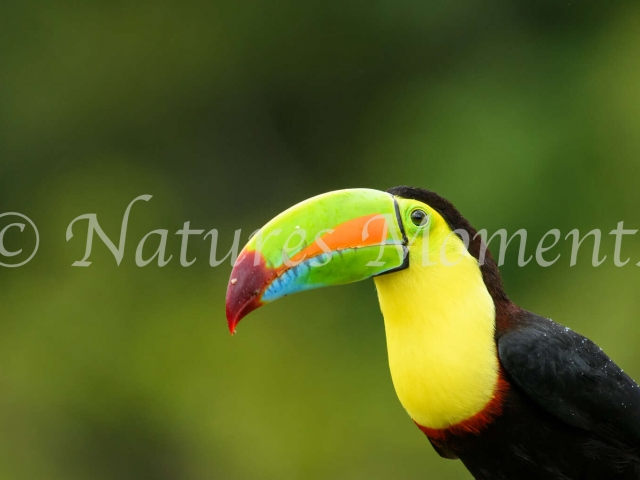 Keel-billed Toucan - On a Perch