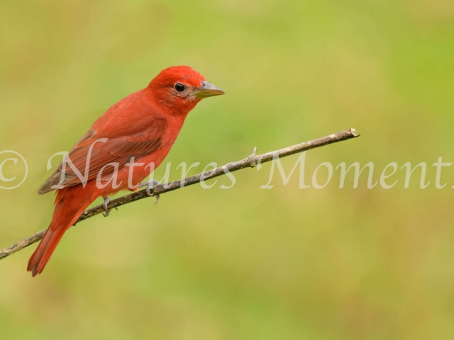 Summer Tanager - On a Perch