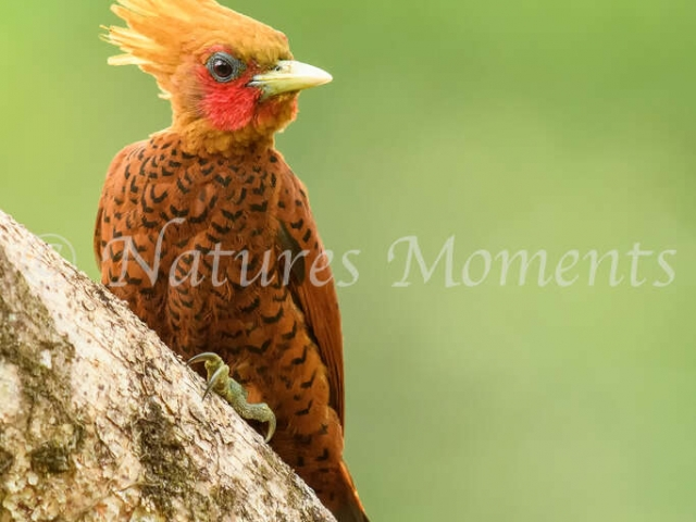 Chestnut-coloured Woodpecker - Crowning Glory