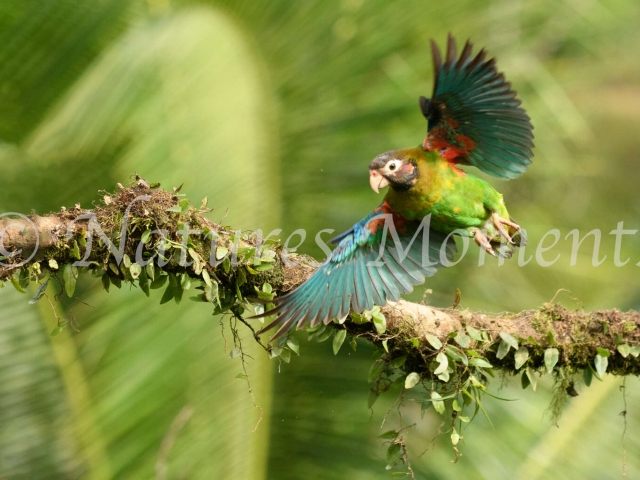 Brown-hooded Parrot - In Flight