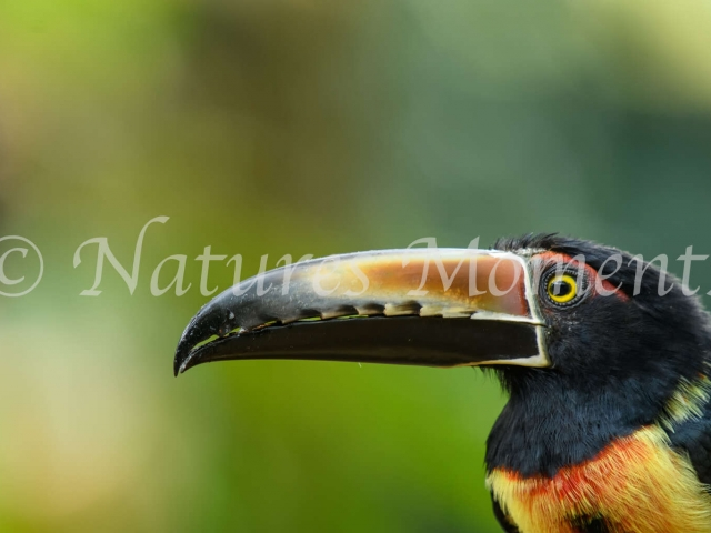 Collared Aracari - Close up