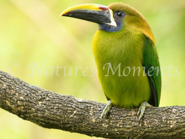Northern Emerald Toucanet  - Perching
