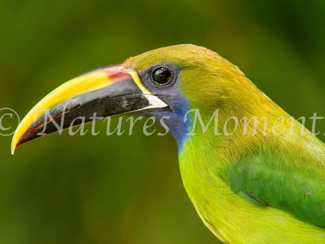 Northern Emerald Toucanet  - Portrait