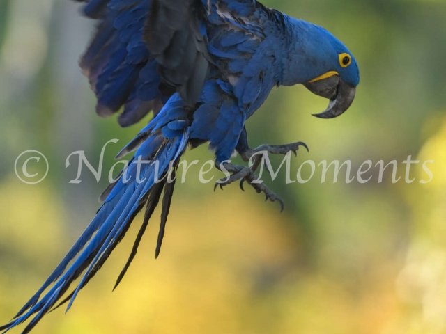 Hyacinth Macaw - Swoop