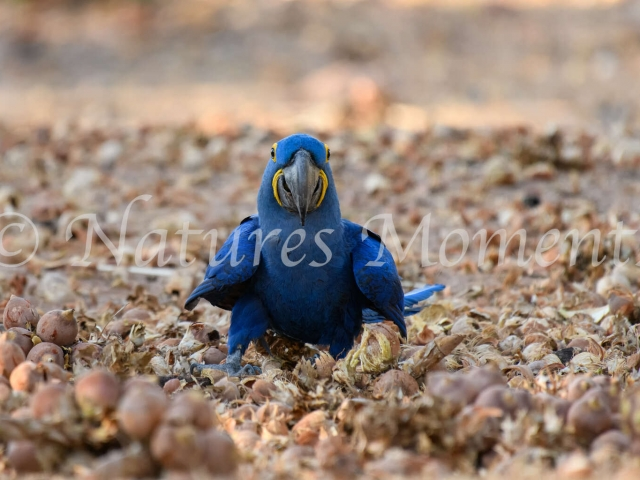 Hyacinth Macaw - Feeding Time