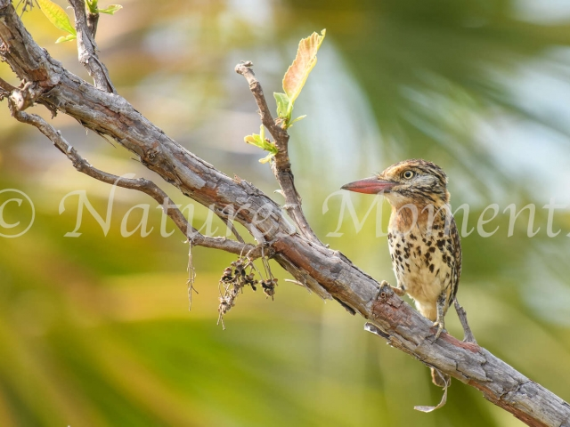 Spot-backed Puffbird