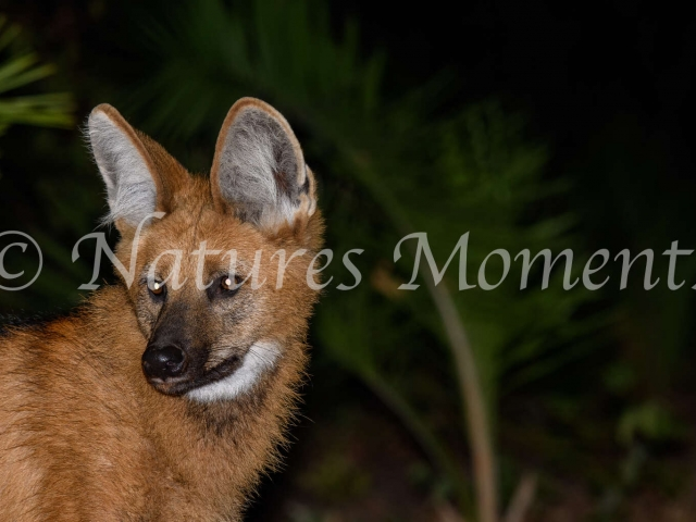 Maned Wolf - Portrait