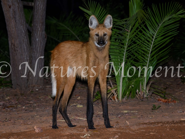 Maned Wolf - Looking at You