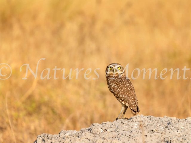 Burrowing Owl - On the Rocks