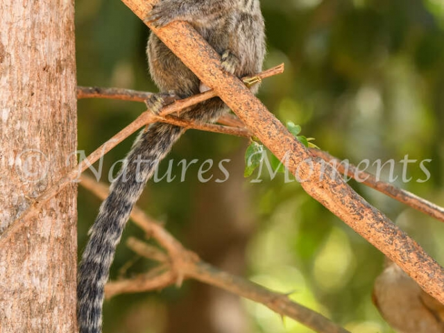 Buffy-tufted Marmoset - Look out
