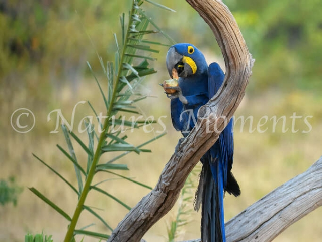 Hyacinth Macaw - Palm Nut Snack