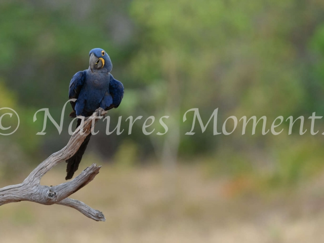 Hyacinth Macaw - Enjoying Lunch