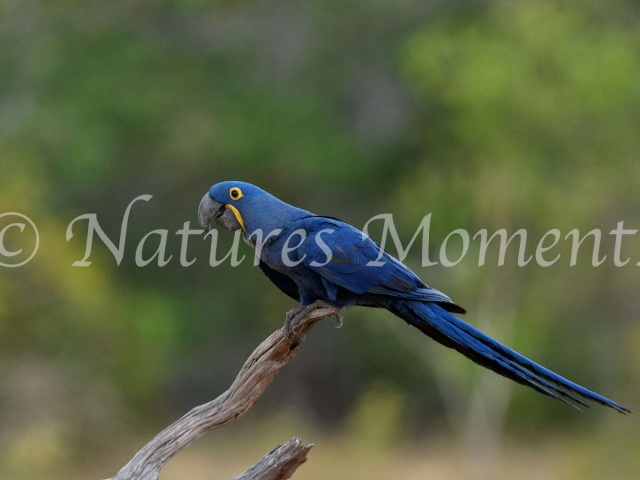 Hyacinth Macaw - Green Background