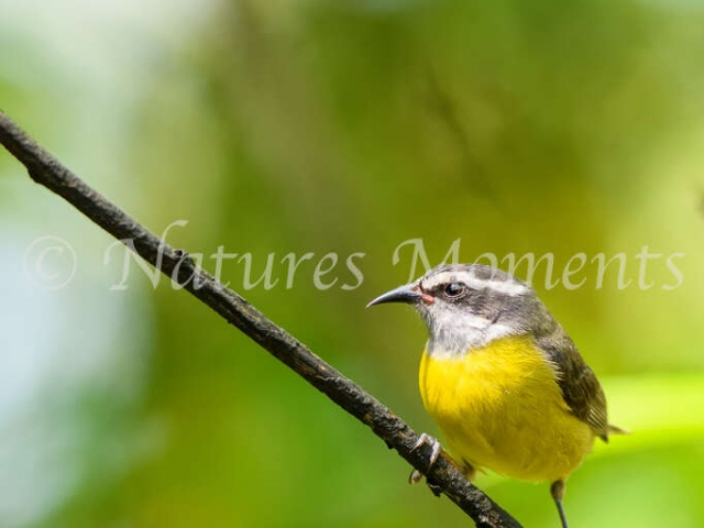 Bananaquit -  Short Rest