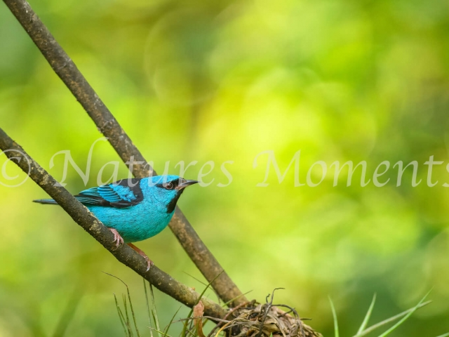 Blue Dacnis - Male