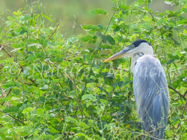 Cocoi Heron - Morning Rest