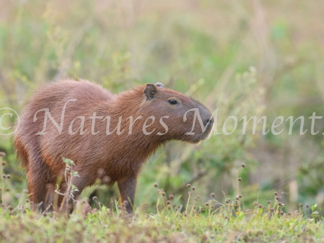 Capybara - Green Background