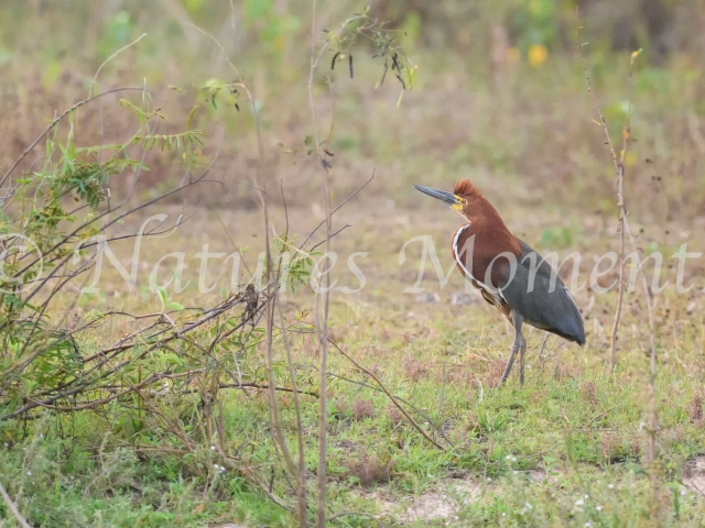 Rufescent Tiger Heron - Mohican Head