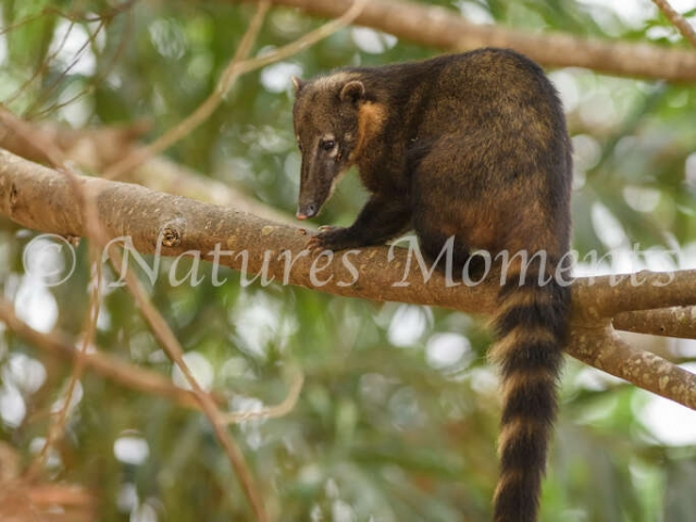 South American Coati - Looking Down