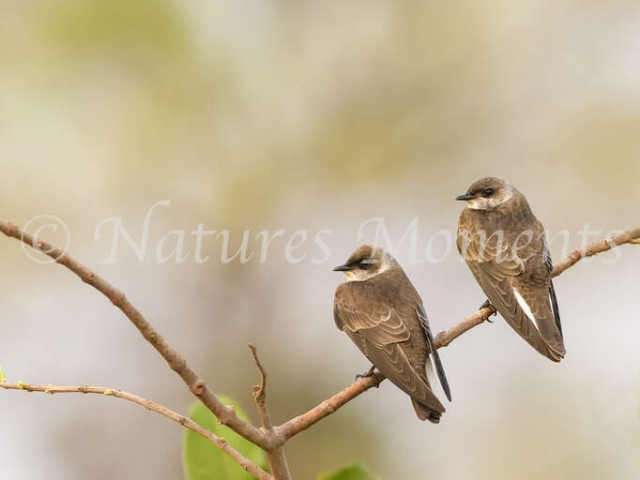 Brown-chested Martin - Twins