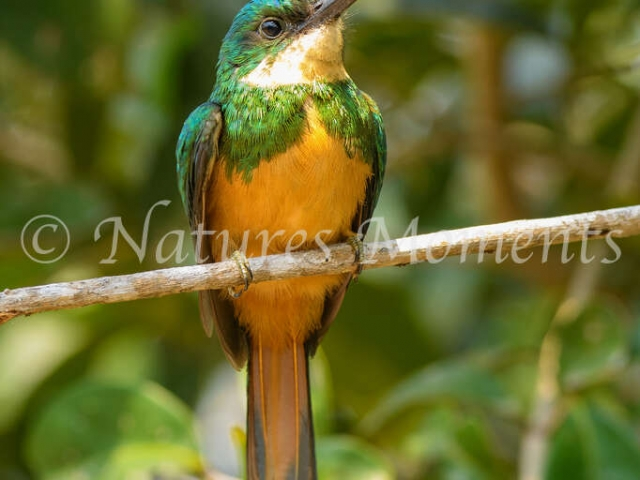 Rufous-tailed Jacamar - Luminescent Beauty