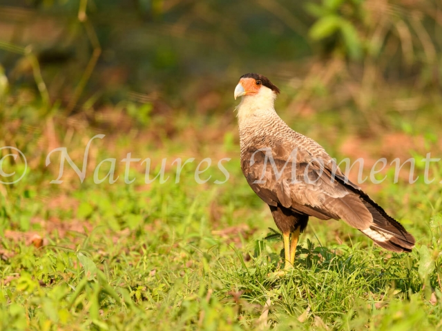 Southern Caracara - In the Grass