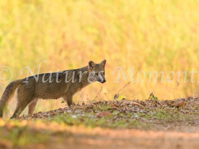 Crab-eating Fox - In Golden Light
