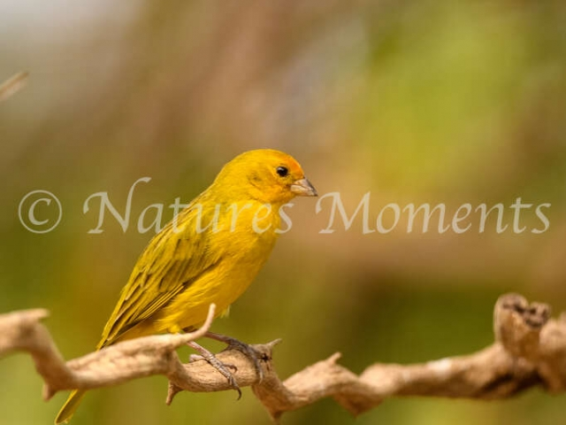 Saffron Finch - Yellow Beauty