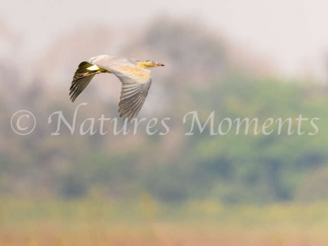 Whistling Heron - Fly By