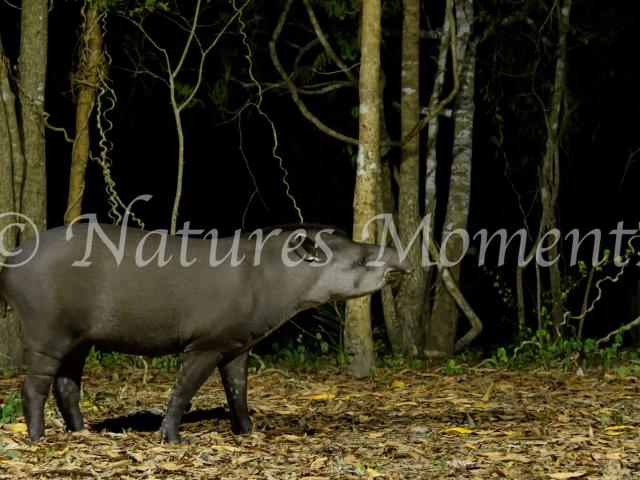 Tapir  - Forest Walk