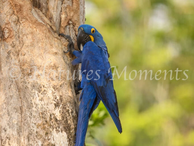 Hyacinth Macaw - Arrive at the Nest