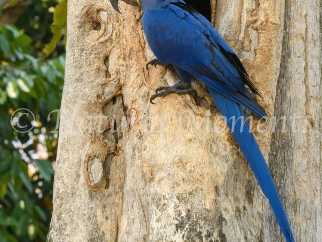 Hyacinth Macaw - Nest Entry