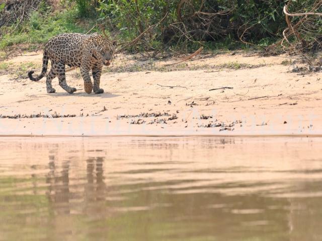 Jaguar - Riverside Stroll
