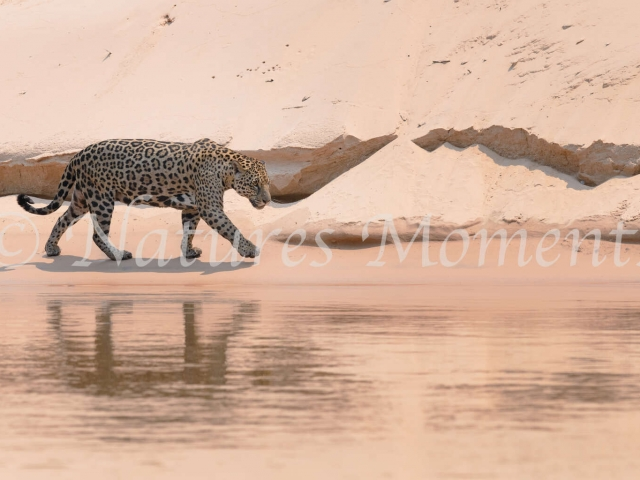 Jaguar - Sand Bank Reflection