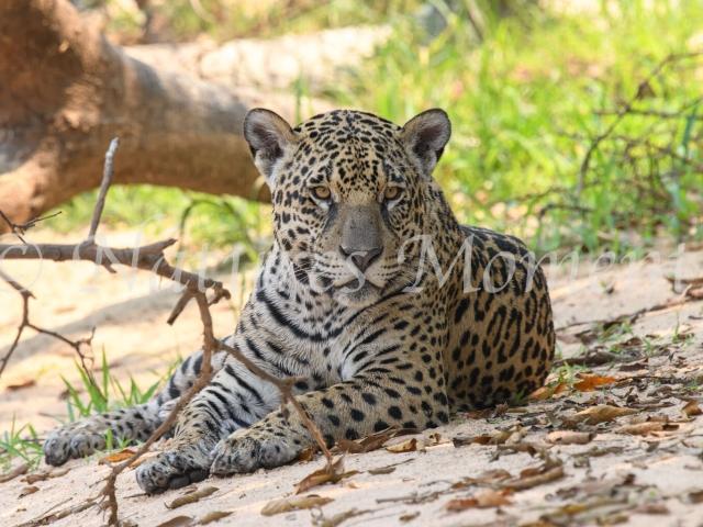Jaguar - Resting