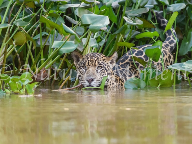 Jaguar - Ready to Cross the River