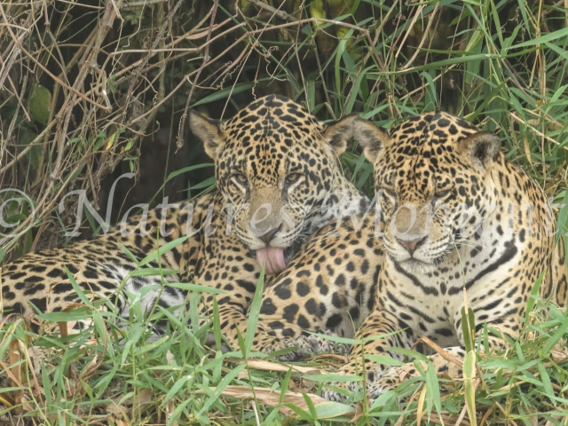Jaguar - Brothers Together